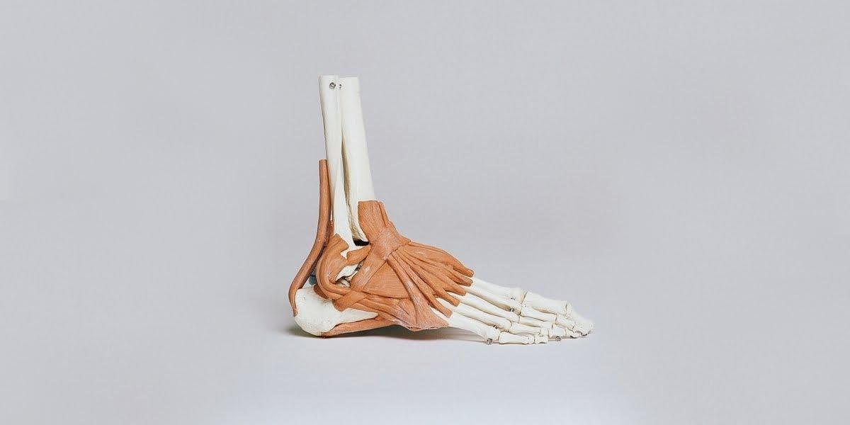 human-skeleton-ankle